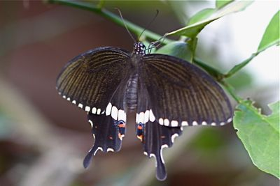 Common Mormon butterfly picture