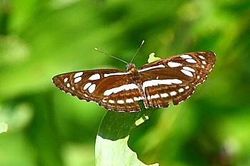 malaysian butterflies - common sailor