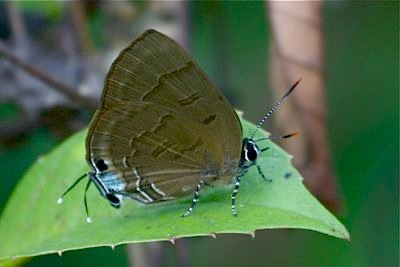 Copper Flash butterfly image