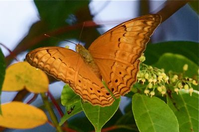 Cruiser butterfly image