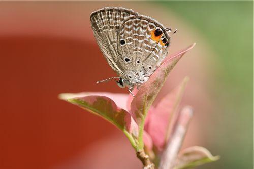 malaysian butterflies - cycad blue