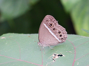 picture of Dark Brand Bush Brown butterfly