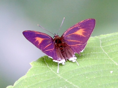 picture of Dark Posy butterfly with open wings