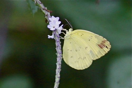 image of eurema-andersonii-andersonii