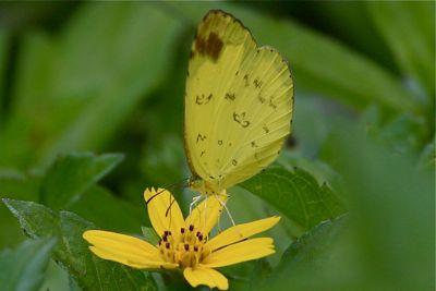 Eurema simulatrix tecmessa butterfly image