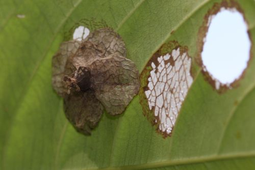 pupa of the great egg-fly