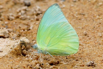 Lemon Emigrant butterfly picture