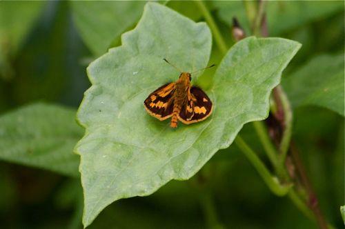 malaysian butterflies - lesser dart