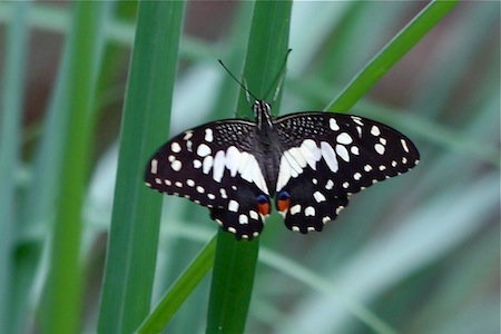 picture of lime butterfly with open wings