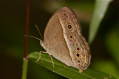 Long Brand Bush Brown butterfly picture