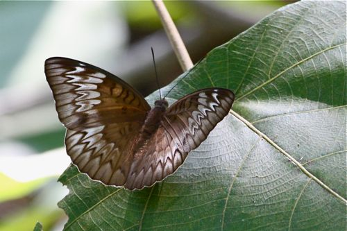 malay viscount butterfly