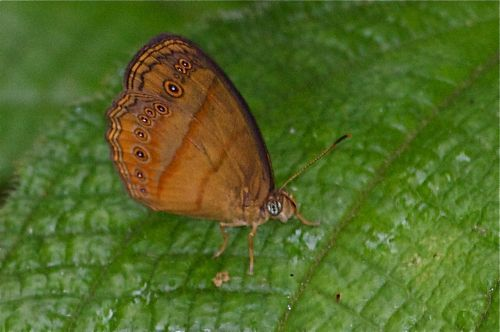 Malayan Bush Brown butterfly picture