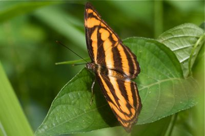 image of Malayan Lascar butterfly