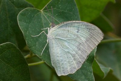 Mottled Emigrant butterfly of malaysia