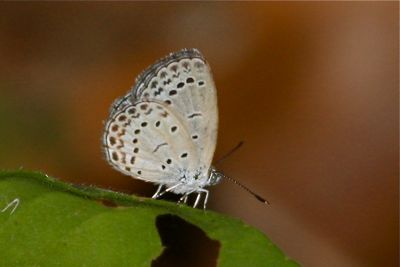 Pale grass Blue butterfly picture