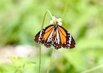 photo of malaysian plain tiger butterfly
