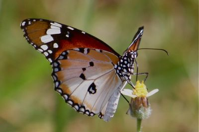 Plain Tiger butterfly image with wings closed