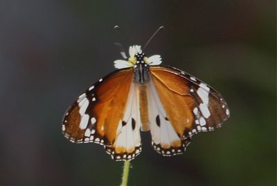 picture of Plain Tiger butterfly