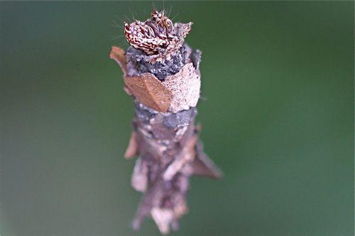 malaysian butterflies - butterfly pupa (chrysalis)