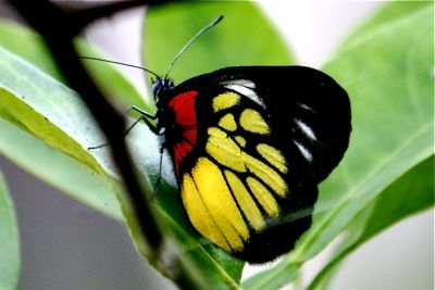 picture of Red Base Jezebel butterfly