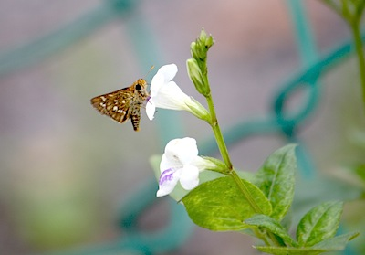 picture of malaysian skipper butterfly