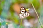 picture of striped albatross butterfly in malaysia