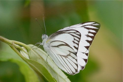 Striped Albatross butterfly