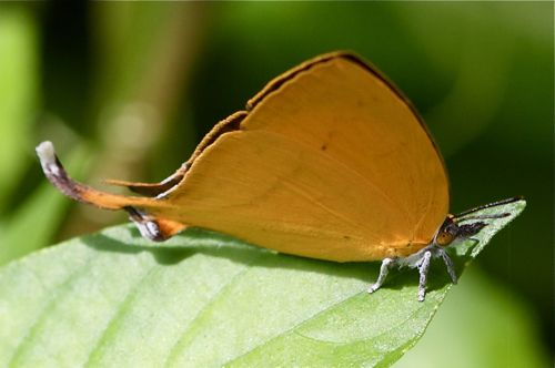 Yamfly butterfly picture