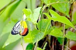 picture of painted jezebel butterfly in malaysia