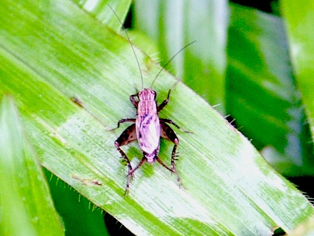 photo of cricket in malaysia
