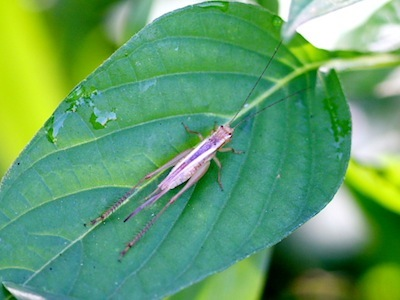 bush cricket found in Malaysia