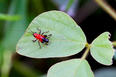 red and black young cricket of malaysia
