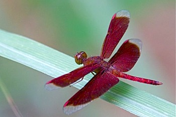 picture of neurothemis fluctuans specie of dragonfly