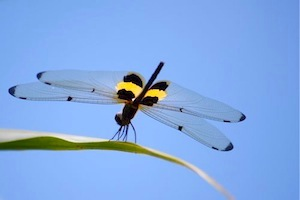 picture of rhyothemis phyllis dragonfly of malaysia