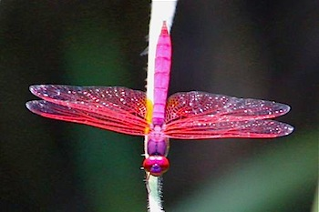 picture of trithemis aurora dragonfly