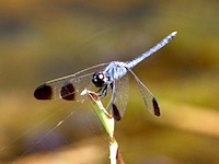 picture of black-tip dragonfly in malaysia