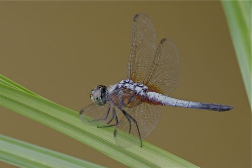 blue dragonfly of malaysia picture