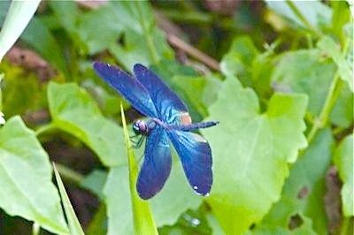 dragonfly with blue-colored wings picture