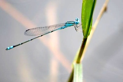 picture of damselfly found in malaysia
