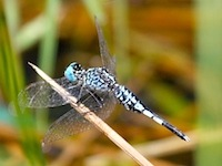 picture of blue-stripes dragonfly