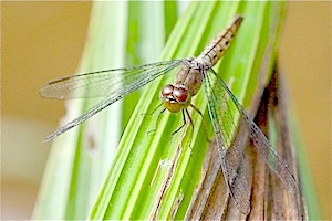 brownish colored dragonfly picture