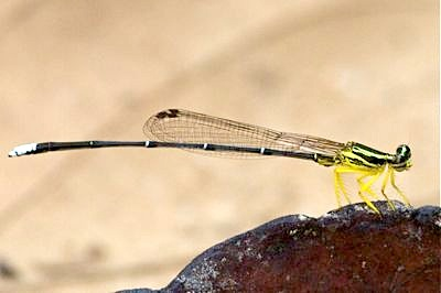green-colored damselfly picture