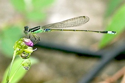 picture of a greenish damselfly