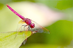 red and pink dragonfly picture