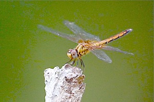 golden-colored dragonfly picture