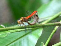 picture of dragonflies mating