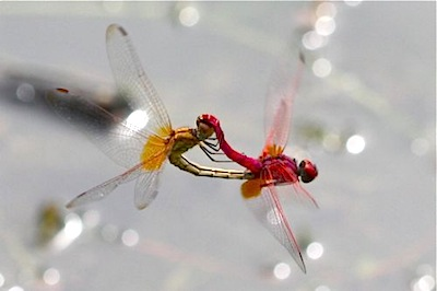 dragonflies in mating photo