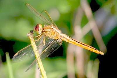 picture of a dragonfly of malaysia