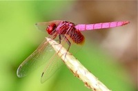 picture of pinkish red dragonfly