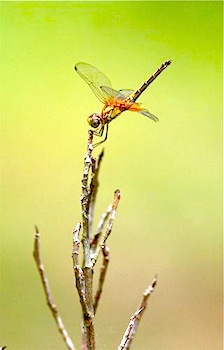 dragonfly of malaysia photo